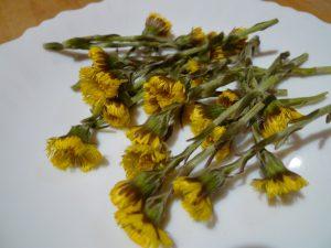Fleurs de tussilages